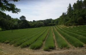 Un champ de lavande qui sera bientôt fleuri
